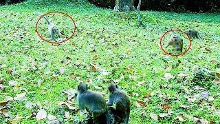 OMG!!! King Monkey Vs Female Monkey - Monkeys Attack in Amber Group