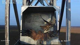 Kestrel (Falco Tinnunculus), Romania ~ Female Kicked Out By Male/Femela Vânturel Gonita De Mascul