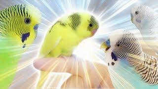 First time to get a Female Budgie | Budgie Vlog