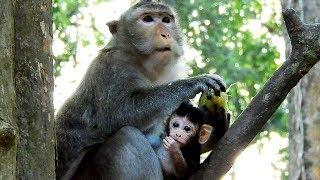 First Time Female Monkey Violet Has A Baby But Her Milk Not Enough For Feed Baby, Baby Monkey Viola
