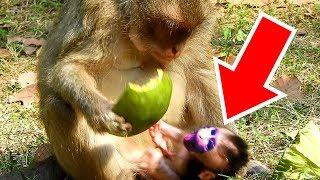 Female Monkey Blacky Busy Eat So Make Her Baby Fall Down From Her Hand, Baby Monkey Barbi Cries Loud