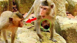Female Monkey Violet Felling Bad, Violet Bit Younger Monkey& Cries Loudly