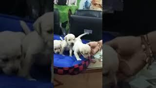 Show quality Labrador male and female puppies for sale in Delhi Dwarka pet shop at very reasonable