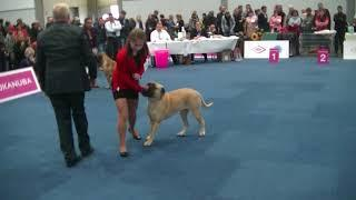 Female Bullmastiff in World dog show 2017