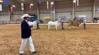2018 ABBA National Brahman Show Gray Female Intermediate Champion Drive