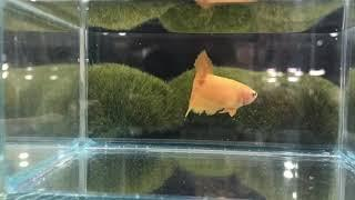 Hm 4 yellow  female 25 zł SOLD OUT