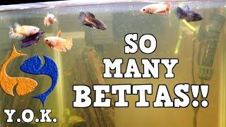 Who Said You Can Only Have One Betta? You Oughta Know You Can Have More Than One Betta In Your Tank!