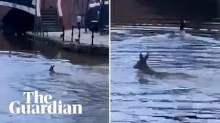 Female deer spotted swimming in canal in inner city Manchester