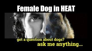 Male and Female in HEAT - Dog Training Video - ask me anything