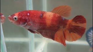 """Salt Water Taffy"" Candy HMPK Female Betta (07-11)  (Poetry19)"