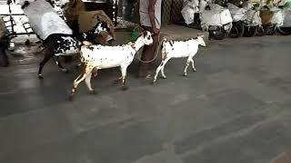 Barbari female sold out, R.K Brother Goats Farm in Etawah U.P, whatsapp contact no-8057106851