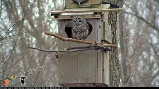 Female Barred Owl Vocalizes While Perched On Nest Box Opening – April 3, 2019