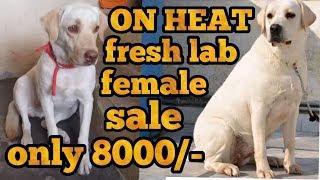 Labra female for sale