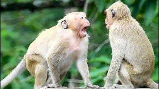 Sweet Pea Show His Power | Achap Bite Female Monkey Cry Seriously Loud.