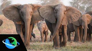 New data shows that a third of  the female elephant population in Mozambique no longer have tusks