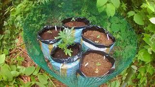 planting out some grapefruit photoperiod plants  by female seeds