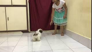 Show quality Shih tzu puppy for sale female vijayawada 8977487777 .