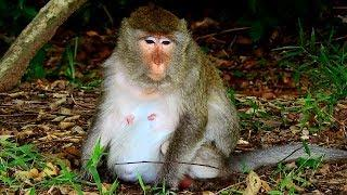 New Life of Peggy Female Monkey After Her newborn baby was lost