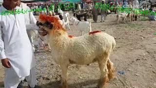 Bakra farm Bakrid Bakrid Chote Bade male or female Jo Humne sale Kiye Hain is video mein sab ke sab