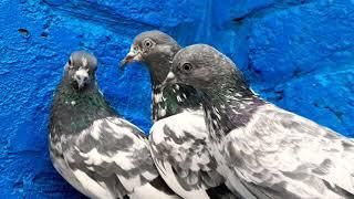 3 breeder 2 CHAT WALI 1 SHARMILI FEMALE (SOLD OUT)