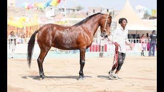 Indian Marwari horse female ring show p3