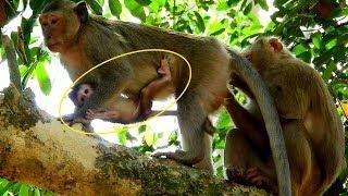 Female Monkey Blacky Ask Bonita For Way, Blacky Always Need Barbi To Stay Near By