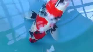 Showa Dainichi Koi Farm Bloodline 60cm Sansai Female Show Quality  KoiAqua