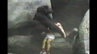 Female Gorilla Rescues Boy Who Falls Into A Gorilla Pit