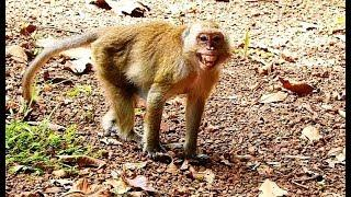 Very poor old female monkey Pearl very scaring cus king Balu try push her out