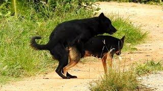 Great VillageDogs!!!!! Black Labrador Retriever Vs German Shepherd Dog Near house lovely #008