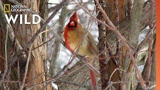 Exclusive Video Reveals Half-Male, Half-Female Cardinal | Nat Geo Wild
