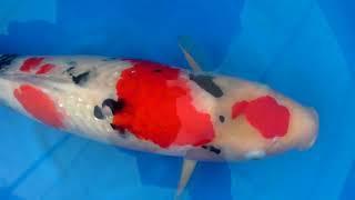 Sanke Tamaura 62cm Sansai Female Show Quality - KoiAqua