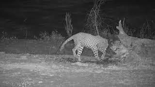 Djuma: Leopard-Luna female gets a drink and checks things out - 01:39 - 11/04/19