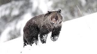 female grizzly comes out of hibernation in April