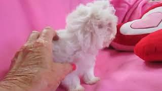 SASHA MALTESE FEMALE VIDEO 6-10-18