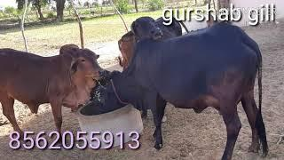 Z*black KAPILA cow Sall caff female sale out(????please subscribe ????)
