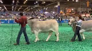 2019 ABBA International Show & Houston Livestock Show and Rodeo - Red&Gray Female Junior Drive
