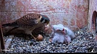 Female Kestrel Feeds Unhatched Egg To Chicks – June 21, 2018