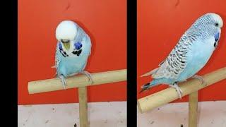 Tcb exhibition blue series female budgie  ready to breed