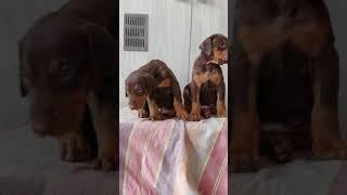 Brown colours show quality Doberman Male and female puppies 09371022581