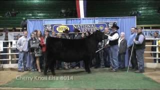 Angus Female Show - National Western Stock Show