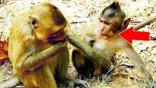 Oh! Pity Baby Monkey Viola Drink Milk Not Enough, Female Monkey Violet Disturb Her Baby Viola