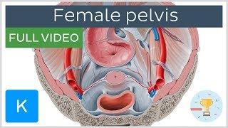FULL VIDEO: Superior view of the female pelvis - Human Anatomy |Kenhub