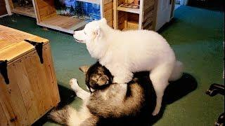 Why Does A Female Puppy Do This?????? Dog Shows Dominance!