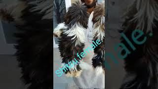 Show quality shitzu female sale in delhi 7291877952