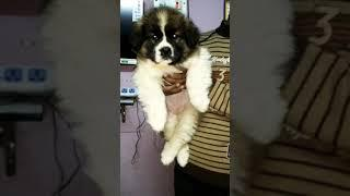 Show quality saint Bernard female available..