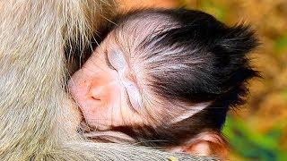 Baby Monkey Julina Sleeping Well, Female Monkey Eating Blue Corn For Save More Milk