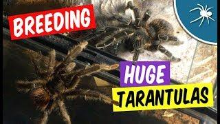 Female Tarantula Eats Her Mate