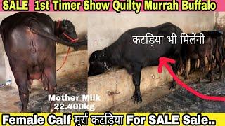 1st Timer Show Quilty Murrah Buffalo and Female calf कटड़िया भी मिलेंगी