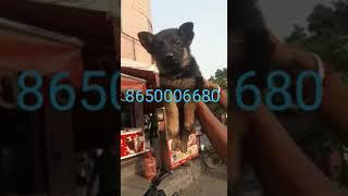 German shepherd  show quality female 5000 and 8000 male